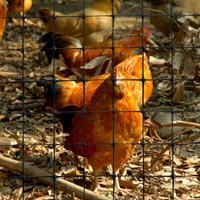 chicken-net-s