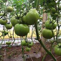 tomato-netting-s